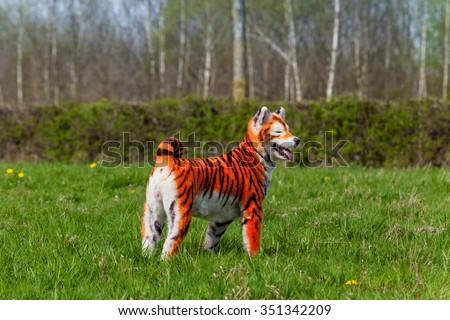 Samoyed dog repainted on tiger. groomed dog. pet grooming. Samoyed dog