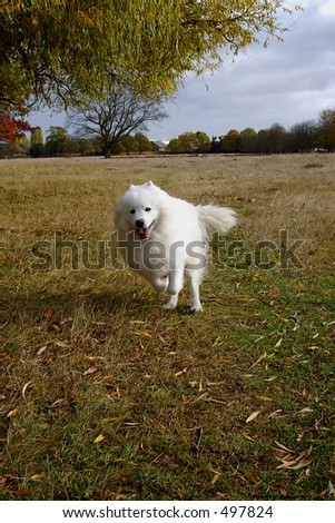 samoyed dog running in the park during the autumn