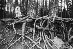 Samoyed fluffy dog stands and looks distinctly against the background of an interesting tree and roots
