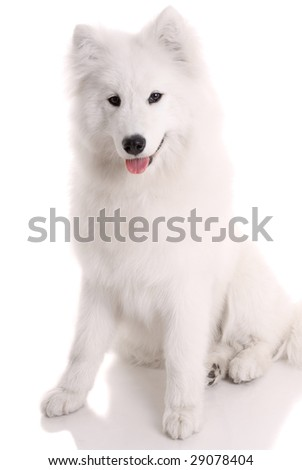 samoyed's dog on white background