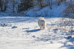 Samoyed - Samoyed beautiful breed Siberian white dog running in the snow. The dog's tongue is out, snow is flying around him.