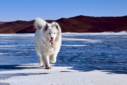 Samoyed white fluffy dog on ice. Very fluffy well-groomed Samoyed dog sitting on a frozen lake in winter. Lake Baikal
