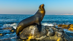 San Diego, California - USA. Close up of a Californian sea lion (Zalophus californianus) posing on a rock in the reefs of La Jolla beach.