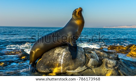 San Diego, California - USA. Close up of a Californian sea lion (Zalophus californianus) posing on a rock in the reefs of La Jolla beach. #786173968