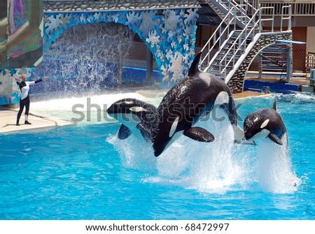 SAN DIEGO, CALIFORNIA, USA - MAY 11: killer whale shamu show on May 11, 2010 in Seaworld San Diego