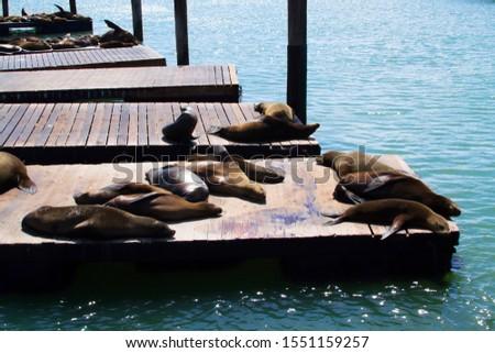 San Francisco City Pier 39. Fur Seal Rookery, a tourist visiting place in America, California. Cute marine mammals. #1551159257