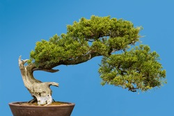 San Jose Juniper (Juniperus chinensis 'San Jose') bonsai