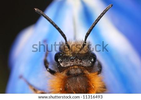 Sand bee portrait