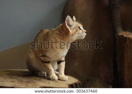 Sand cat (Felis margarita), also known as the sand dune cat. Wild life animal.