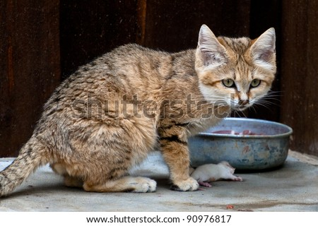 Sand cat with prey - stock photo