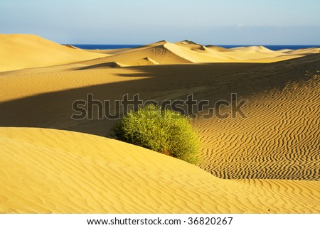 Sand dune on the sunset with bush. Focus on the bush.