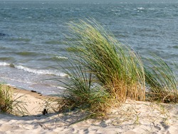 Sand dunes with marram grass or beachgrass, Ammophila arenaria, at Waddensea coast of West Frisian island Vlieland, Netherlands