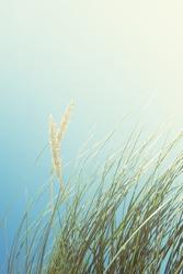 Sand dunes with tall grass and blue sky, Luskentyre beach, Isle of Harris, Scotland