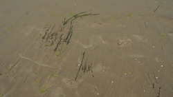 Sand, kelp and seashells background. Human footprints. Beach after heavy rain. Natural brown material after the storm. Long algae are thrown by water from the sea or ocean onto the shore. Laminaria