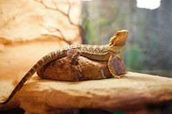 sand lizard in a terrarium, domestic life of pets, a dragon with brown spikes sitting on a stone and looking concentrated, exotic reptile