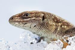 Sand lizard (Latin Lacerta agilis) on snow after hibernation