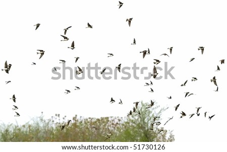 Sand Martin flock of birds isolated on a white, swallows