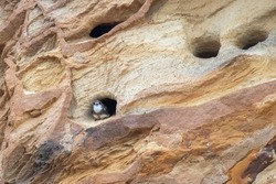 Sand martin sitting in entrance to nest hole in a sandstone cliff face