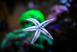 sand sifting starfish (archaster typicus) moving through the glass of a reef aquarium