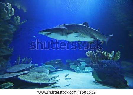Tubarão Do Tigre Da Areia