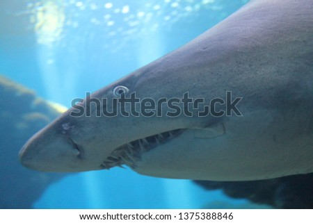 sand tiger shark swimming underwater close up of eye stock, photo, photograph, picture, image,