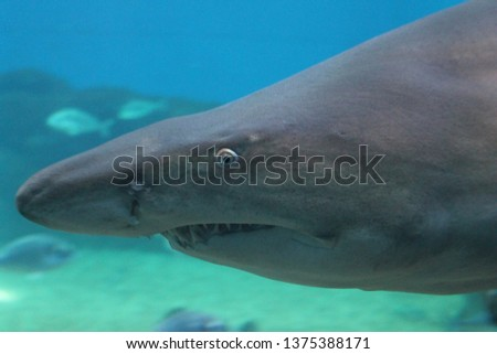 sand tiger shark swimming underwater stock, photo, photograph, picture, image,