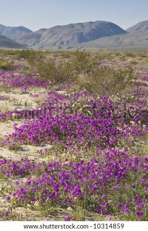 Sand Verbena. Wild flowers. Anza-Borrego Desert state park. California b661f99d7d4