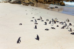 Sandbank with large rocks and algae. Scenic Penguin Conservation Area near Cape Town. South Africa. The flightless bird is a spectacled penguin.