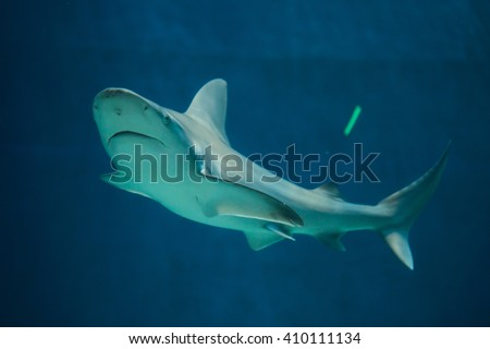 Sandbar shark (Carcharhinus plumbeus). Wild life animal.  - Shutterstock ID 410111134