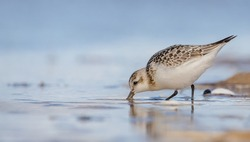 Sanderling - at the sea shore on autumn migration way