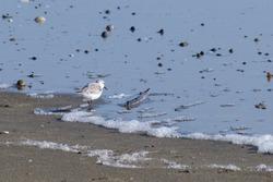 Sanderling (Calidris alba), at Marlough Beach, Dundrum, Northern Ireland, UK