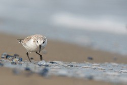 Sanderling (Calidris alba) in the beach eating, in the Ebro Delta