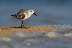 Sanderling - Calidris alba walking, feeding, hunting and washing on the atlantic sandy coast. Black and white wading bird feeds on the beach.