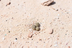 Sanderling eggs in the white sand beach in the dunes of Corralejo. Fuerteventura, Canary Islands