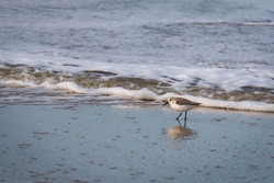 Sanderling on the North Sea beach of the Wadden island of Texel on a sunny winter day