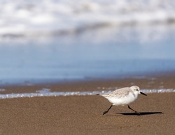 sanderling running away from a wave