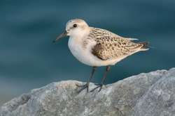Sanderling standing on the top of a boulder. Colonel Samuel Smith Park, Toronto, Ontario, Canada.