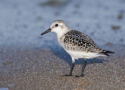 Sanderlings are small wading birds