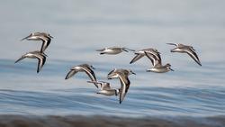 Sanderlings in flight over a lake