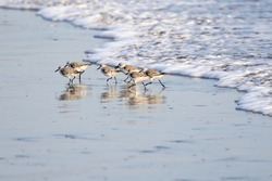 Sanderlings (sandpipers) along the Pacific shoreline of Nicaragua.