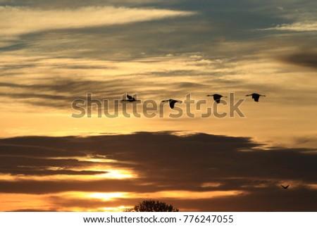 Sandhill Crane Bosque del Apache Wildlife Reserve New Mexico USA #776247055