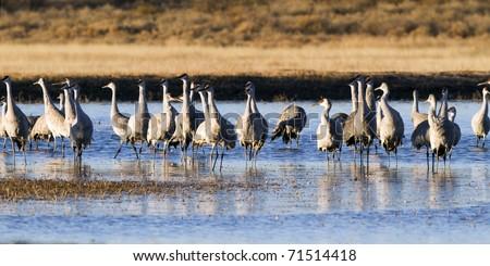 Sandhill Crane flock wintering at Bosque del Apache National Wildlife Refuge in New Mexico