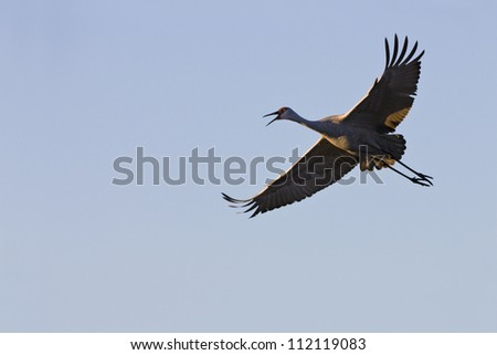 Sandhill crane flying against clear sky