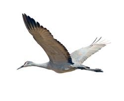 Sandhill crane flying, isolated on white background