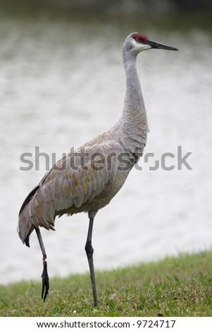 sandhill crane gray bird broken foot green peace care wildlife - stock photo