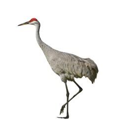 Sandhill crane, isolated on white. Latin name - Grus cannadensis.