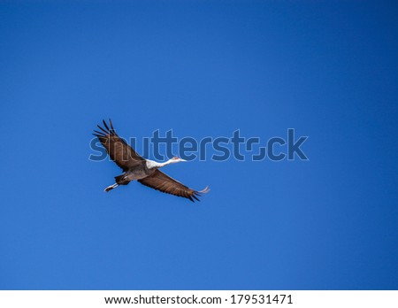 Sandhill Crane with red crown and spread wings flies in cloudless sky in United States/Wild Bird, Sandhill Crane, with Spread Wings in Flight Overhead in Blue Sky/Sandhill Crane in flight overhead