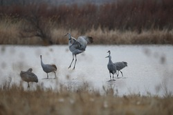 Sandhill Cranes and Snow Geese Mass Bird Flock Takeoff at Sunrise at Bosque del Apache Wildlife Preserve in Bosque del Apache New Mexico