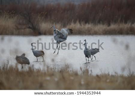 Sandhill Cranesand Snow Geese Mass Bird Flock Takeoff at Sunrise at Bosque del Apache Wildlife Preserve in Bosque del Apache New Mexico