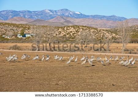 Sandhill cranes (Antigone canadensis) in Bosque Del Apache National Wildlife Refuge in New Mexico Foto stock ©